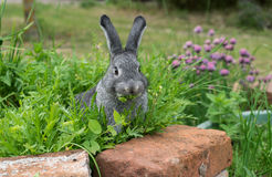Little gray rabbit. A gray rabbit sits in the herb bed and eats Stock Image