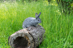 Little gray rabbit. A gray gray rabbit sitting on a tree trunk Royalty Free Stock Image