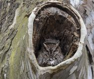 A little gray Screech owl in his nest