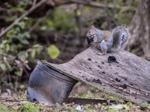 A little gray squirrel peels a black walnut from it`s hull. Royalty Free Stock Photography
