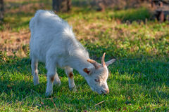 Little grazing goat Royalty Free Stock Photography