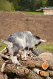 Little great goat. Little grey goat is playing on logs Royalty Free Stock Photos
