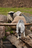 Little great goat and sheep. Little grey goat is playing on logs Stock Photography