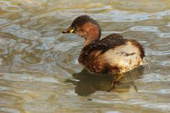 Little grebe 1. A little grebe with visible feet, on which the lobes may be recognized Stock Photo