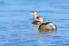 Little grebe Stock Images