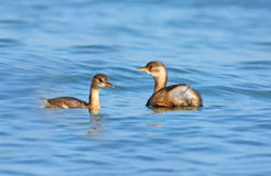 Little grebe Stock Photo