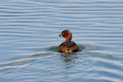 Little Grebe Royalty Free Stock Image