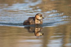 Little grebe. A little grebe swimming Stock Photo