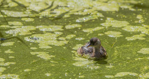 Little Grebe in the  backlight Stock Photos