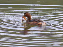 Little Grebe bird catching a fish Stock Photography