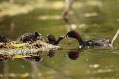 Little grebe bird. Royalty Free Stock Photography