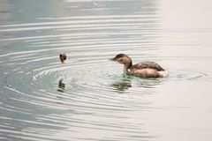 Little grebe. The little grebe is catching loach in river. Scientific name: Trachybaptus ruficollis Stock Photo