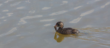 Little Grebe with crab Stock Photos