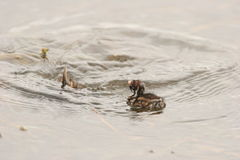 Little Grebe (Dabchick) diving for food. The mum and chic was in the a dam near a Bird Hide in the Pilansberg. Diving for food to feed the chic Royalty Free Stock Photo