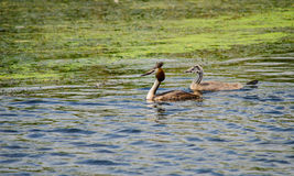 Little grebe dabchick and its offspring Royalty Free Stock Photos