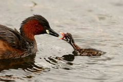 Little Grebe (Dabchick). The mum and chic was in the a dam near a Bird Hide in the Pilansberg Royalty Free Stock Images