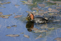 Little grebe or dabchick, Tachybaptus ruficollis Stock Images