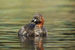 Little grebe or Dabchick, Tachybaptus ruficollis Royalty Free Stock Image