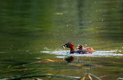 Little grebe duck, tachybaptus ruficollis, in breeding plumage Royalty Free Stock Photo