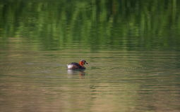 Little grebe duck, tachybaptus ruficollis, in breeding plumage Royalty Free Stock Photography