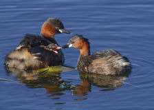 Little Grebe feeding babies Royalty Free Stock Photo