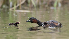 Little Grebe feeding young Stock Photography