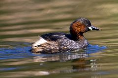 Little Grebe fishing Stock Photo