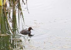 Little Grebe Fishing. A Little Grebe is fishing for sticklebacks on a pond in the northeast of England stock image