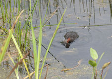 Little Grebe Fishing. A Little Grebe is fishing for sticklebacks on a pond in the northeast of England stock images