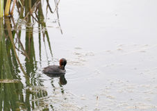 Little Grebe Fishing. A Little Grebe is fishing for sticklebacks on a pond in the northeast of England stock photo