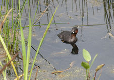 Little Grebe Fishing. A Little Grebe is fishing for sticklebacks on a pond in the northeast of England stock photography