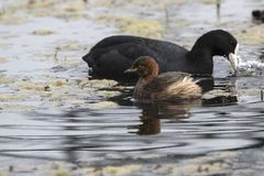 Little Grebe floating on a small lake during the wintering next Stock Photos