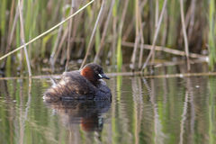 Little Grebe in front of a reedbed Royalty Free Stock Image
