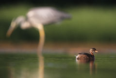 Little Grebe with Grey Heron in the background Royalty Free Stock Images