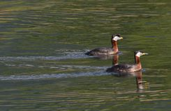 Little grebe, with his little one swimming in the laketwo red-necked grebe that are swimming in the lake stock images