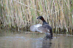 Little Grebe Royalty Free Stock Images