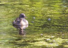Little Grebe Royalty Free Stock Photo