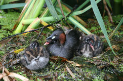 A Little Grebe parent Tachybaptus ruficollis sitting with its three chicks, one of the chicks is cuddled up in the feathers. A Little Grebe parent Tachybaptus Stock Photography