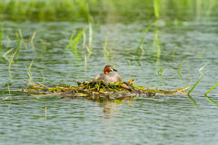 Little Grebe is resting Stock Photography