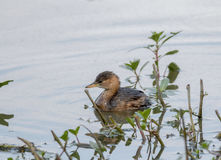 Little grebe Royalty Free Stock Photos