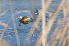 Little grebe. A little grebe is swimming in winter reed marshes. Scientific name: Trachybaptus ruficollis Stock Photo