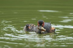 Little Grebe (Tachybaptus ruficollis) Royalty Free Stock Photo