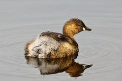 Little Grebe Royalty Free Stock Photography