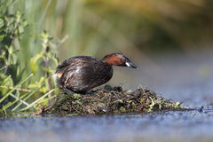 Little grebe, Tachybaptus ruficollis Stock Photography
