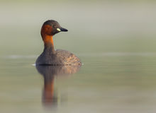Little Grebe - Tachybaptus ruficollis Royalty Free Stock Photography