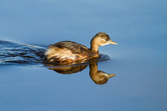 Little Grebe on the Water Stock Photos