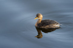 Little Grebe in water. Royalty Free Stock Photography
