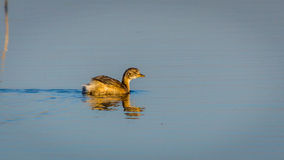 Little Grebe on water Stock Images