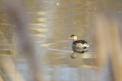 Little grebe Stock Image