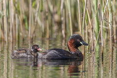 Little Grebe with young Royalty Free Stock Image